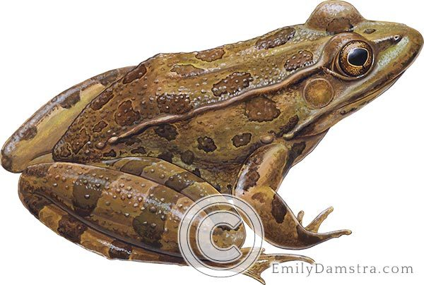 Arizona lowland leopard frog Lithobates yavapaiensis illustration