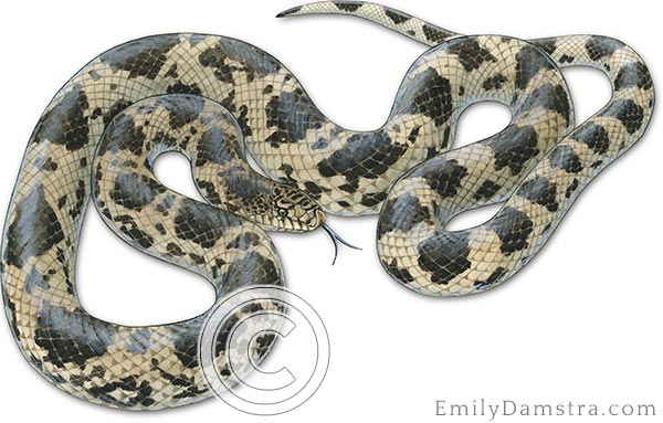 Northern Pine snake illustration – Emily S  Damstra – Emily
