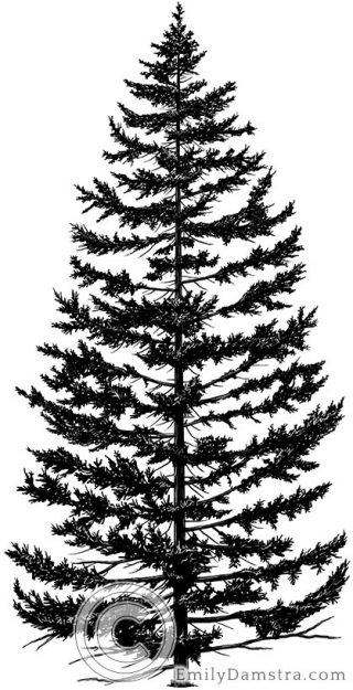 Red spruce tree Picea rubens illustration
