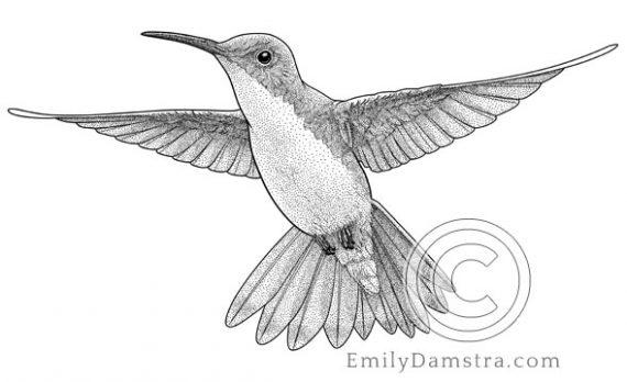 Illustration of the Andean emerald hummingbird Amazillia franciae