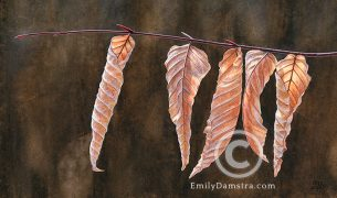 American beech leaves – Emily S. Damstra