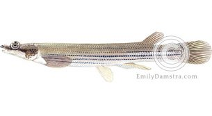 Largescale four-eyed fish – Emily S. Damstra