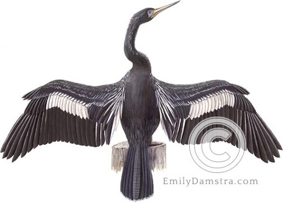 Anhinga illustration snakebird