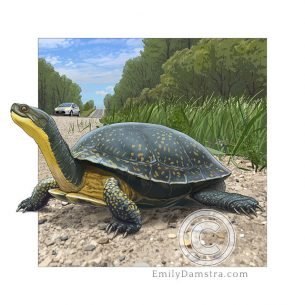 Blanding's turtle – Emily S. Damstra