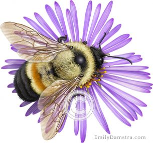 Rusty patched bumble bee on New England aster – Emily S. Damstra