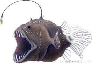 Deepsea Anglerfish bufoceratias wedli illustration