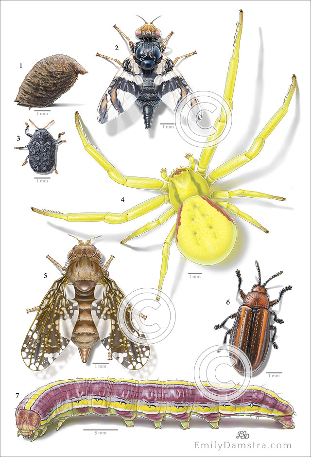illustrations insects spider goldenrod