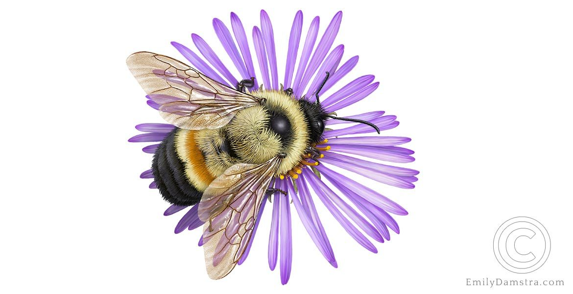 Illustration of rusty patched bumble bee