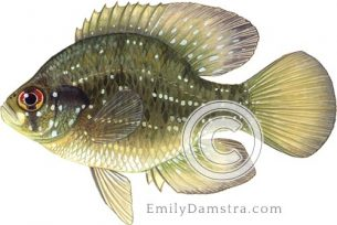 Blue-spotted sunfish – Emily S. Damstra