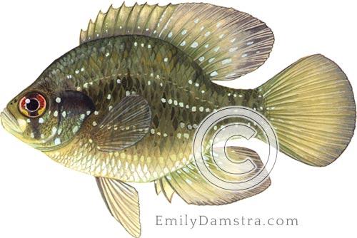 Blue-spotted sunfish illustration Enneacanthus gloriosus