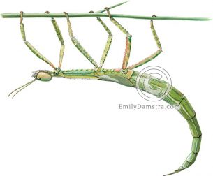 Darwin stick insect – Emily S. Damstra