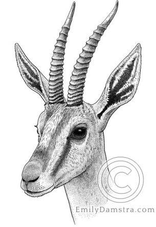 Cuvier's gazelle – Emily S. Damstra