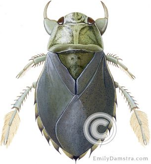 Saucer bug illustration Ilyocoris cimicoides