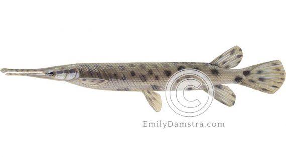 Spotted gar illustration Lepisosteus oculatus