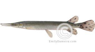 Shortnose gar illustration Lepisosteus platostomus
