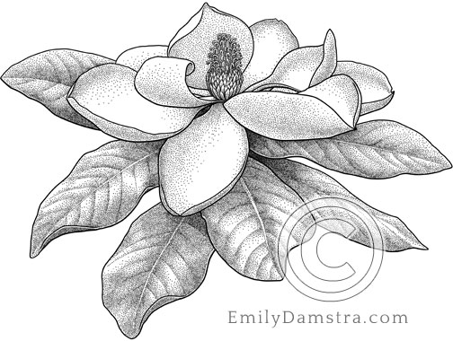 Illustration of a Southern Magnolia flower Magnolia grandiflora