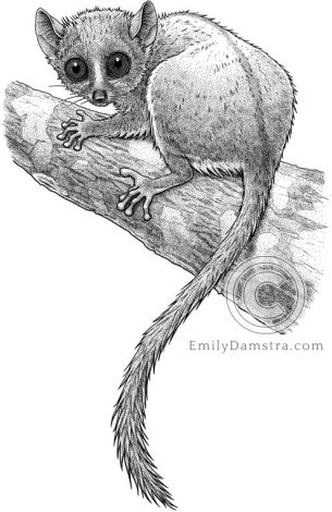 Illustration of Madame Berthe's Mouse Lemur Microcebus berthae