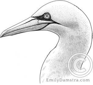 Northern gannet – Emily S. Damstra