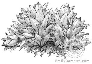 Spruce's Bristle-moss  – Emily S. Damstra