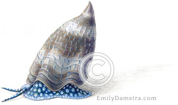Devonian fossil snail, reconstructed Platyceras conicum