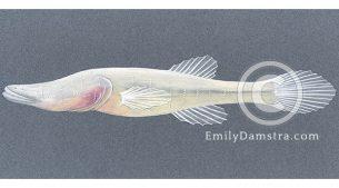 Alabama cavefish illustration Speoplatyrhinus poulsoni