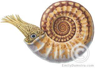 Illustration of fossil ammonite Sunrisites brimblecombei