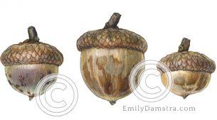 Red oak acorns – Emiily S. Damstra