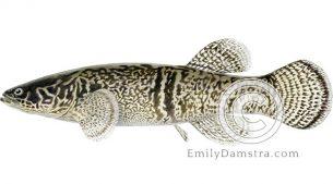 Alaska blackfish illustration Dallia pectoralis