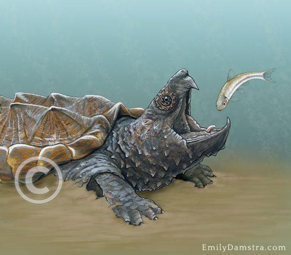 Alligator snapping turtle illustration