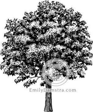 American chestnut – Emily S. Damstra