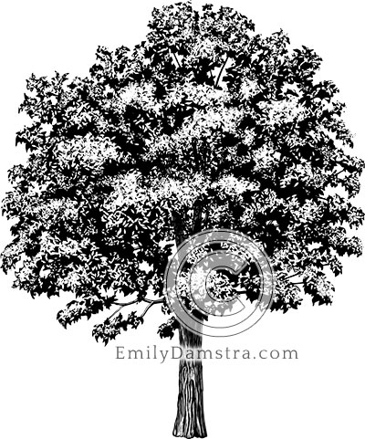 American chestnut tree illustration Castanea dentata