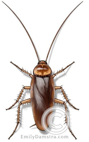 American cockroach – Emily S. Damstra