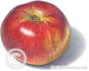 Baldwin apple – Emily S. Damstra