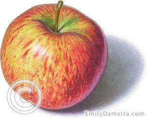 Cortland apple – Emily S. Damstra