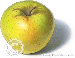 Crispin apple – Emily S. Damstra