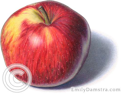 Empire apple illustration
