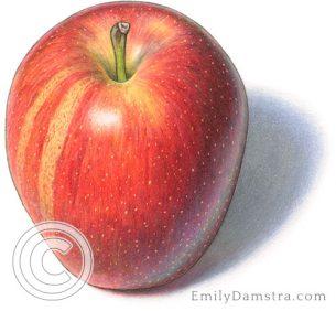 Gala apple – Emily S. Damstra