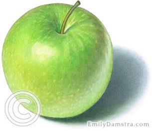 Granny Smith apple – Emily S. Damstra