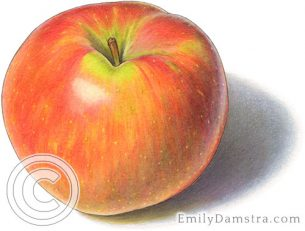 Honeycrisp apple –  Emily S. Damstra