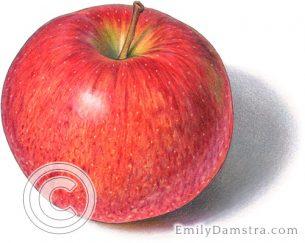 Jonagold apple – Emily S. Damstra