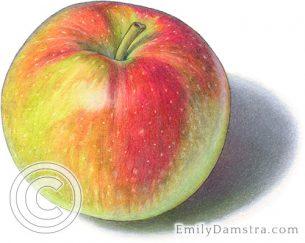 Macintosh apple – Emily S. Damstra