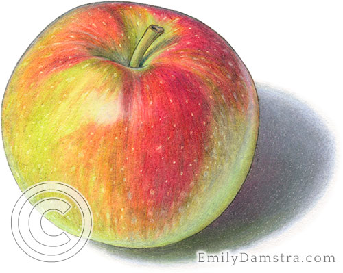 Macintosh apple illustration