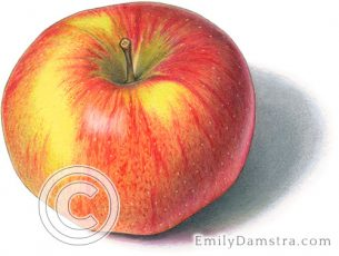Northern spy apple – Emily S. Damstra