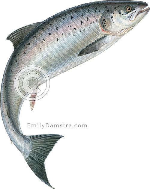 leaping Atlantic salmon Salmo salar