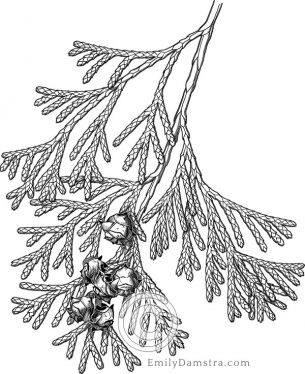 Atlantic white cedar – Emily S. Damstra