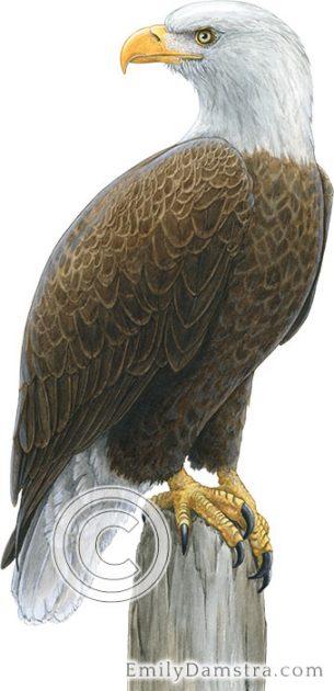 Bald eagle illustration Haliaeetus leucocephalus