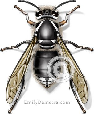 Bald-faced hornet – Emily S. Damstra
