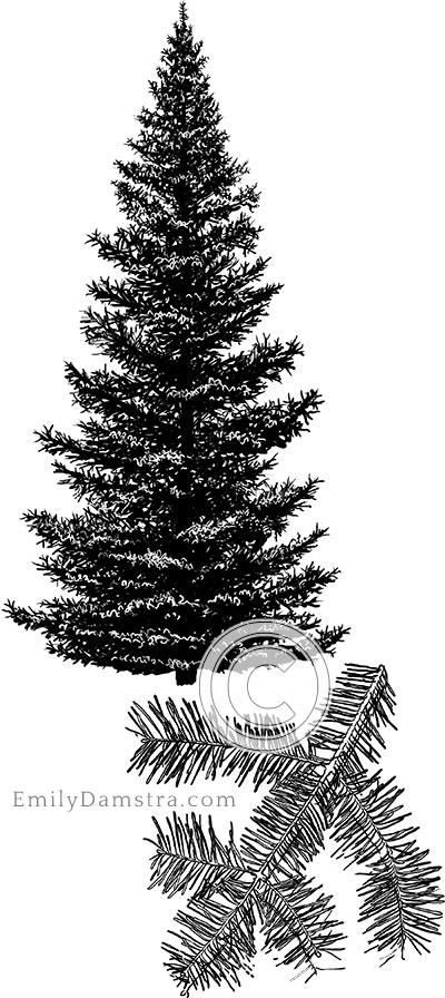 Balsam fir illustration Abies balsamea