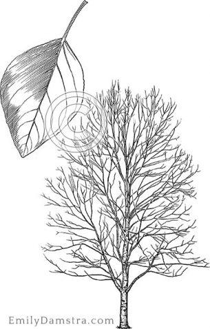 Balsam poplar – Emily S. Damstra