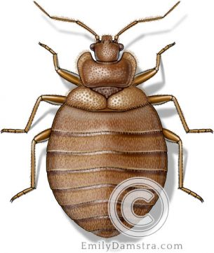 Bed bug illustration Cimex lectularius